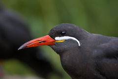 Inca tern (Larosterna inca). Stock Photography