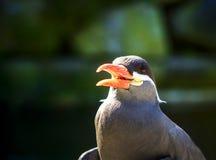 Inca Tern Larosterna seabird bird Stock Image