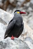Inca Tern perched on Rock Royalty Free Stock Image
