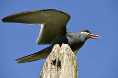 Inca tern perched on wood post Royalty Free Stock Images