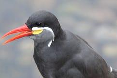 Inca Tern Portrait. Close up portrait of an Inca Tern Stock Image