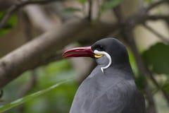 Inca tern Royalty Free Stock Photos