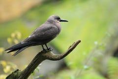 Inca tern. Sitting on the stub Stock Photos