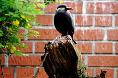 Inca tern on trunk. Male inca tern sitting on a piece of wood Stock Photos