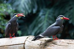 Inca Tern royalty free stock photos