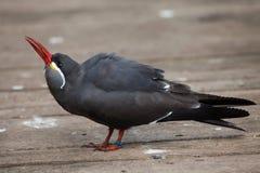 Inca tern (Larosterna inca). Royalty Free Stock Image