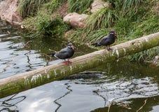 Inca Terns Stockbild