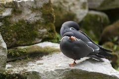 Inca Terns Royalty Free Stock Photos