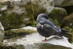Inca Terns Stock Photo