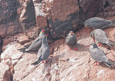 Inca Terns on a Peruvian Island. Inca Terns on the Ballestas Islands Near Paracas Stock Photography