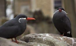 Inca terns posing on a rock royalty free stock photos