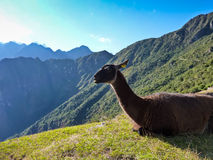 Inca trail Lama Stock Photos
