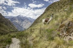 Inca trail Llama Stock Photography