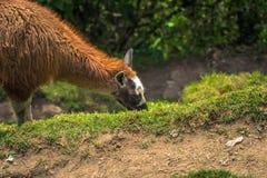 Inca Trail Peru - Augusti 03, 2017: Lamor på Inca Trail, Pe fotografering för bildbyråer