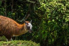 Inca Trail Peru - Augusti 03, 2017: Lamor på Inca Trail, Pe royaltyfri foto