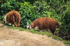Inca Trail Peru - Augusti 03, 2017: Lamor på Inca Trail, Pe arkivbild