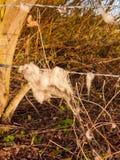 Incaglia il ciuffo di lana in nastro metallico preso pecore del paese barbe Fotografie Stock Libere da Diritti