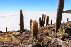 Incahuasi cactus Stock Image