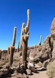 Incahuasi cactus Stock Photos