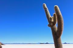 Incahuasi cactus Royalty Free Stock Image