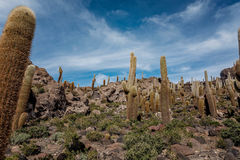 Incahuasi island  Cactus Island lokated at Salar de Uyuni the Stock Photography