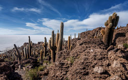 Incahuasi island  Cactus Island lokated at Salar de Uyuni the Royalty Free Stock Image