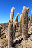 Incahuasi kaktus Obrazy Royalty Free