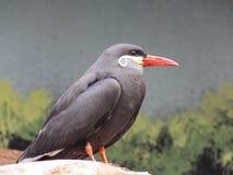 Incan Tern profil Fotografia Royalty Free