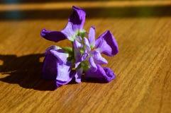 Incana común canoso púrpura del matthiola del solo primer del flor fotografía de archivo libre de regalías