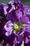 Incana común canoso púrpura macro del matthiola foto de archivo libre de regalías
