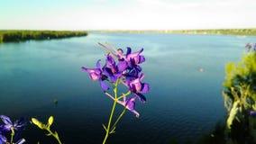 Incana Matthiola с рекой Стоковое Изображение