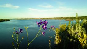 Incana Matthiola с рекой Стоковые Фото