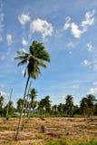 Incandescência da plantação da mandioca e do fundo do céu azul imagem de stock royalty free