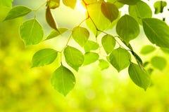 Incandescência das folhas do verde Foto de Stock