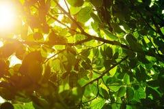 Incandescência das folhas do verde Fotos de Stock