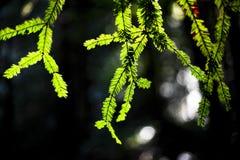Incandescência sempre-verde Imagens de Stock