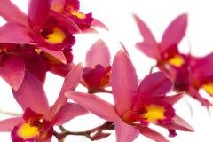 Incandescenza di Newberry dell'orchidea di Laelia Fotografia Stock Libera da Diritti