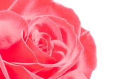 Incandescer cor-de-rosa levantou-se fotografia de stock royalty free