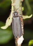 Incandescer-sem-fim comum do macho (noctiluca de Lampyris) fotografia de stock royalty free