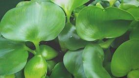 incanto delle piante del giacinto d'acqua immagine stock
