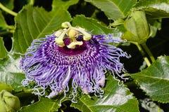 Incarnata de passiflore, fleur pourpre de passion Photographie stock libre de droits
