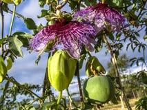 Incarnata do Passiflora da flor da paixão imagens de stock royalty free