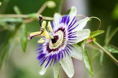 Incarnata för passionblommaPassiflora arkivbild