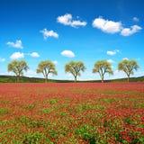 开花深红色三叶草车轴草incarnatum的领域 库存图片