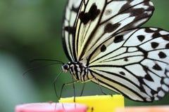 Incarti il particolare della farfalla del cervo volante (leuconoe di idea) Fotografie Stock