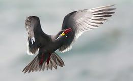 Incastern, Inca Tern, inca di Larosterna immagine stock libera da diritti