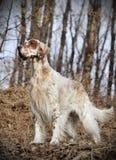 Incastonatore inglese dell'animale domestico del cane Fotografie Stock