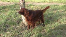 Incastonatore rosso irlandese del cane video d archivio