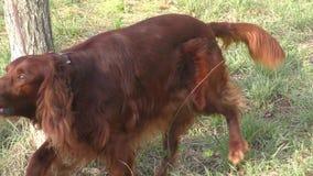 Incastonatore rosso irlandese del cane archivi video