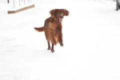 Incastonatore rosso irlandese della razza del cane Fotografie Stock Libere da Diritti